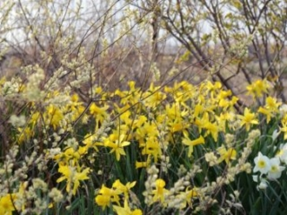 Salix repens 'Bridal Rice' and daffodils in the Lauridsen Savanna, May 2018. Photo by Kelly Norris.