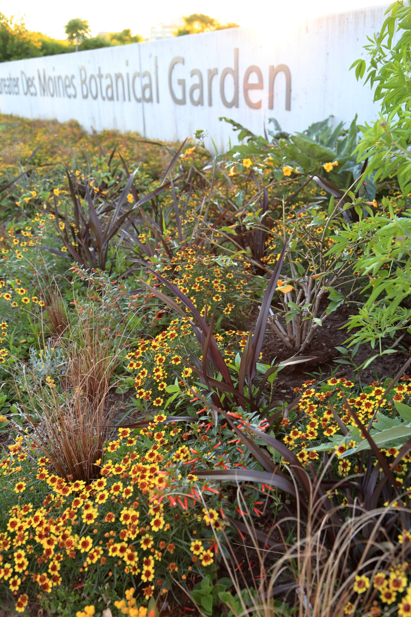 A summer matrix of coreopsis, sedges, cupheas and more in the EMC Insurance Foundation Entry Garden, June 18. Photo by Kelly Norris.