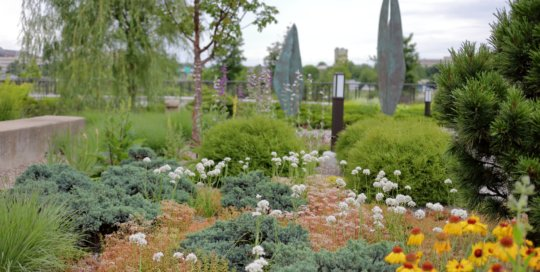Allium amplectens 'Graceful' (Graceful ornamental onion) coming into flower amind sedums and junipers in the Rutledge Conifer and Gravel Garden. Photo by Kelly Norris.