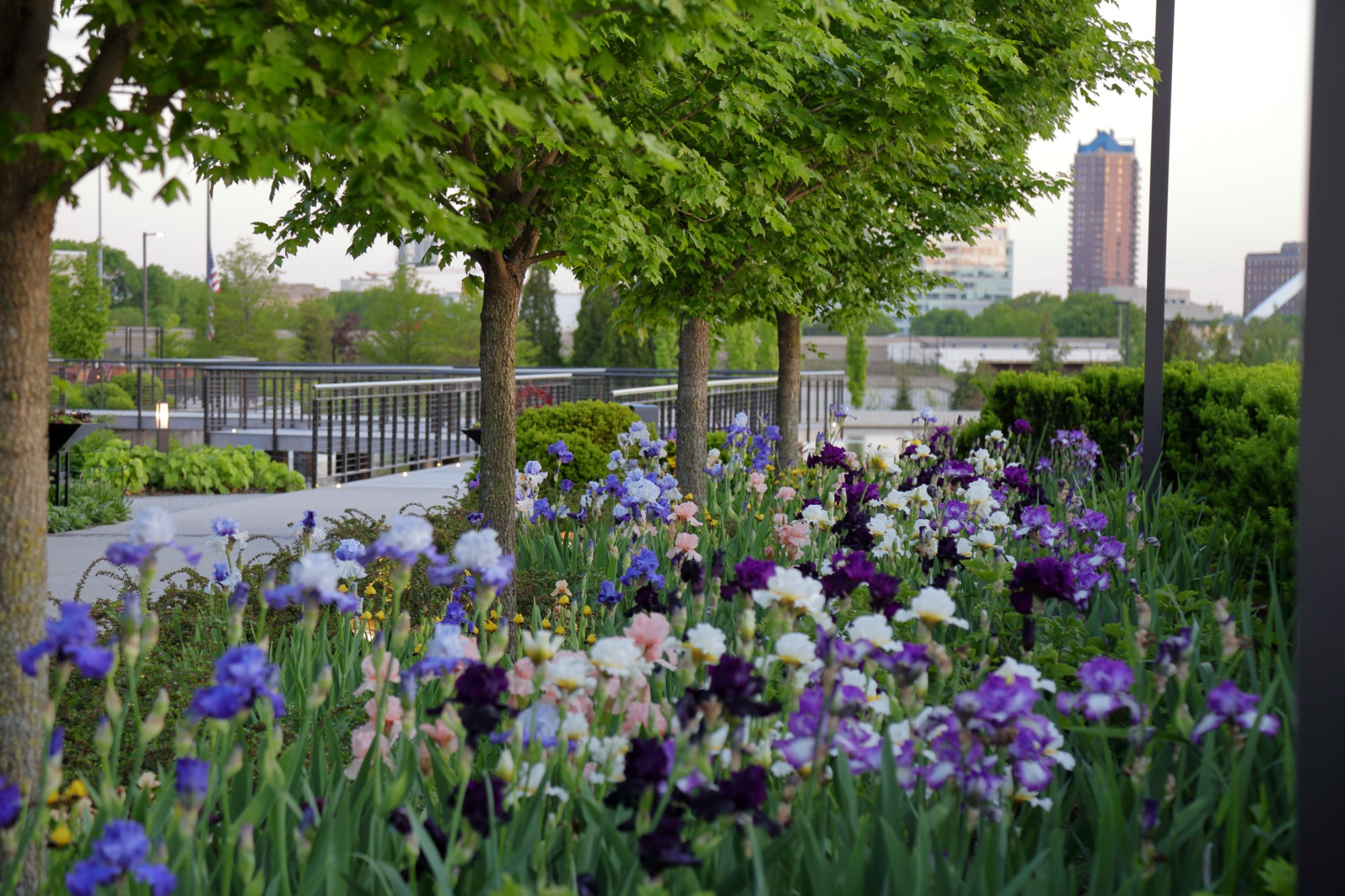 Bearded irises along the Ruan Allee. Photo by Kelly Norris.