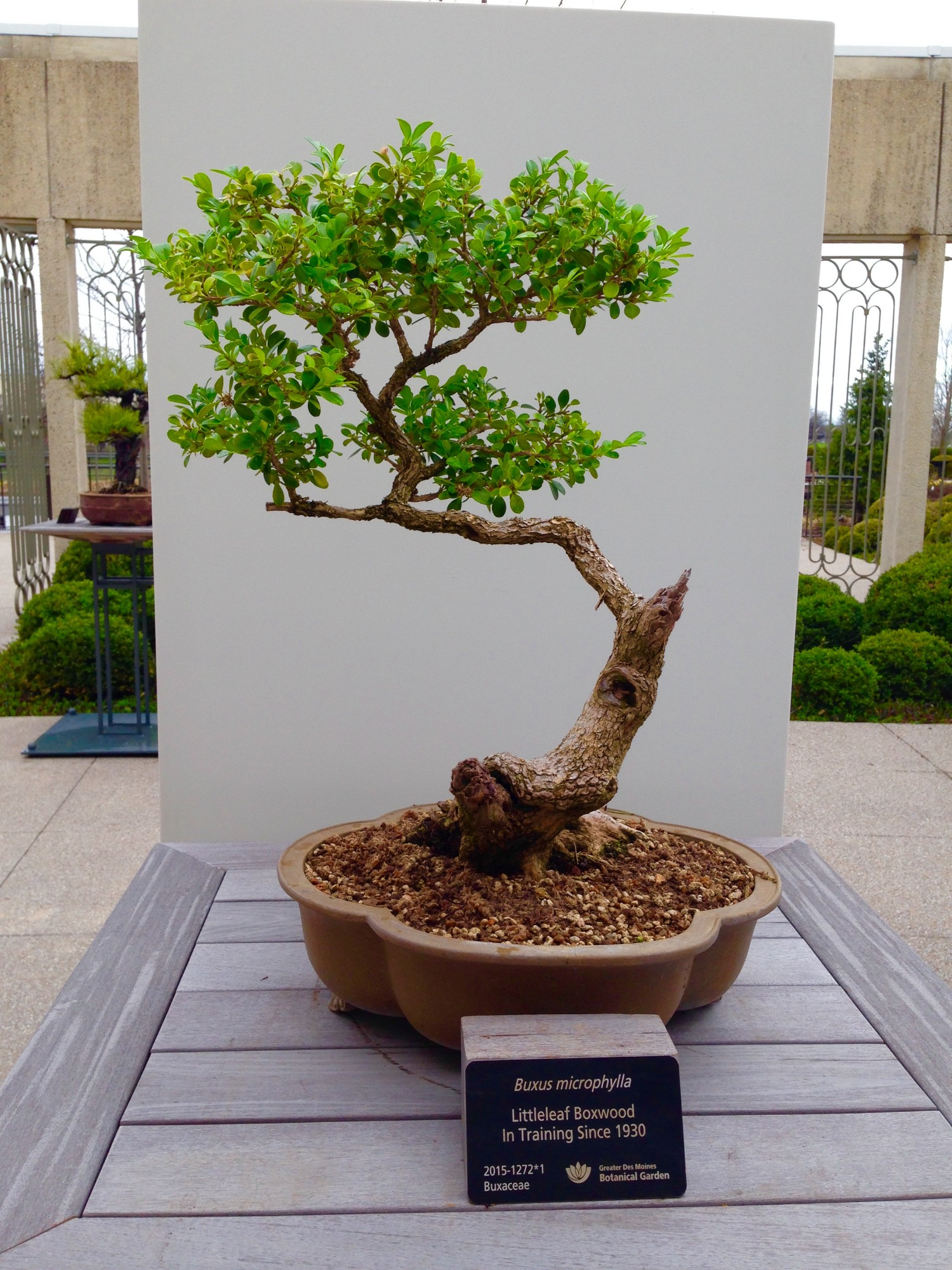 Buxus microphylla (littleleaf boxwood). Photo by Derek Carwood.
