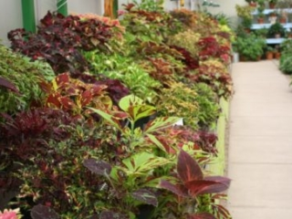 The coleus display collection in the Gardeners Show House, May 2016. Photo by Kelly Norris.