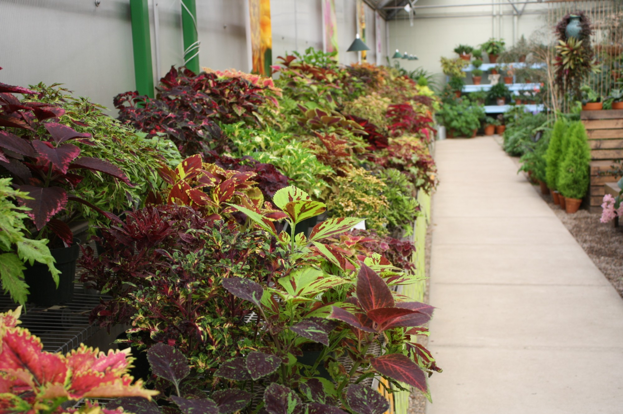 The coleus collection on display in the Gardeners Show House. Photo by Leslie Hunter.