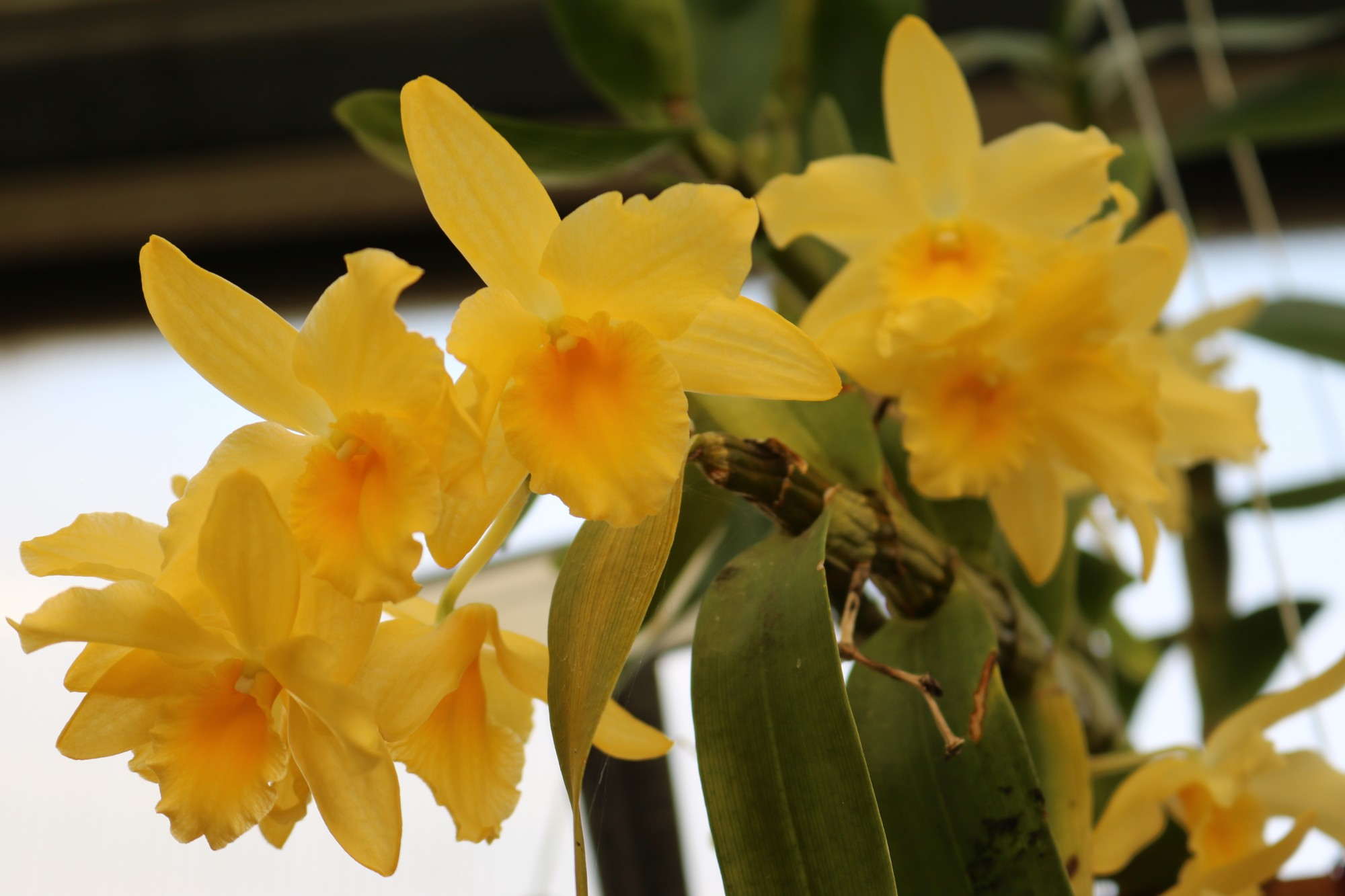 Dendrobium Yellow Song 'Canary', Gardeners Show House. Photo by Leslie Hunter.
