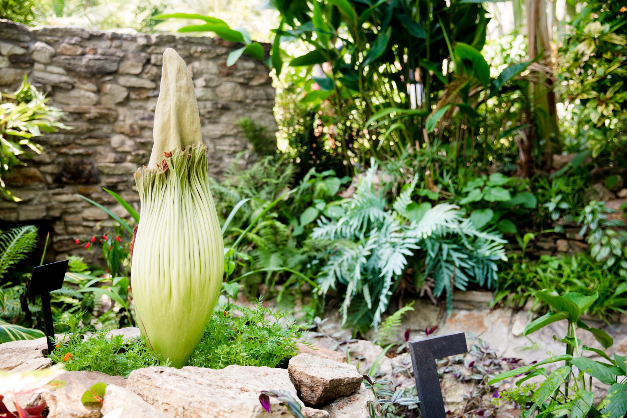 Amorphophallus titanum (Carrie the Corpse Flower). Photo by Ivory House Photography.