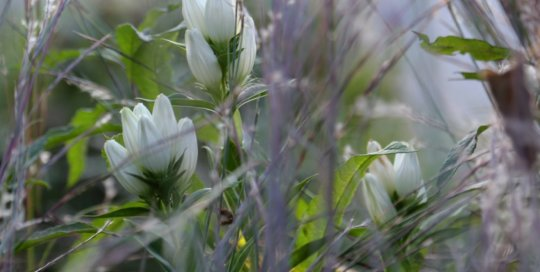 Gentiana andrewsii 'Milk Bottles' pushes through the grass matrix in the Lauridsen Savanna. Photo by Kelly Norris.