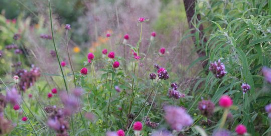 Gomphrena 'Forest Pink' (Forest Pink globe amaranth) in the Wells Fargo Rose Garden on October 26. Photo by Kelly Norris.