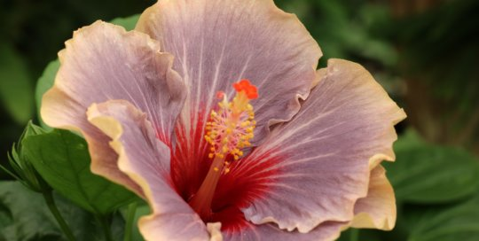 Hibiscus 'Blues in the Night' (Tropical Hibiscus), Gardeners Show House, September 2017. Photo by Leslie Hunter.