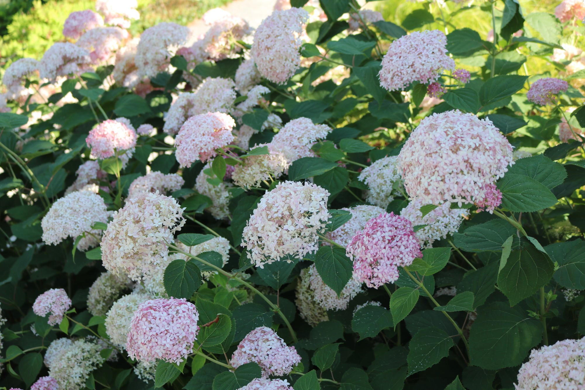 Hydrangea arborescens 'NCHA1' (Invincibelle Spirit smooth hydrangea) flowering in the Hillside Garden, July 2017. Photo by Leslie Hunter.