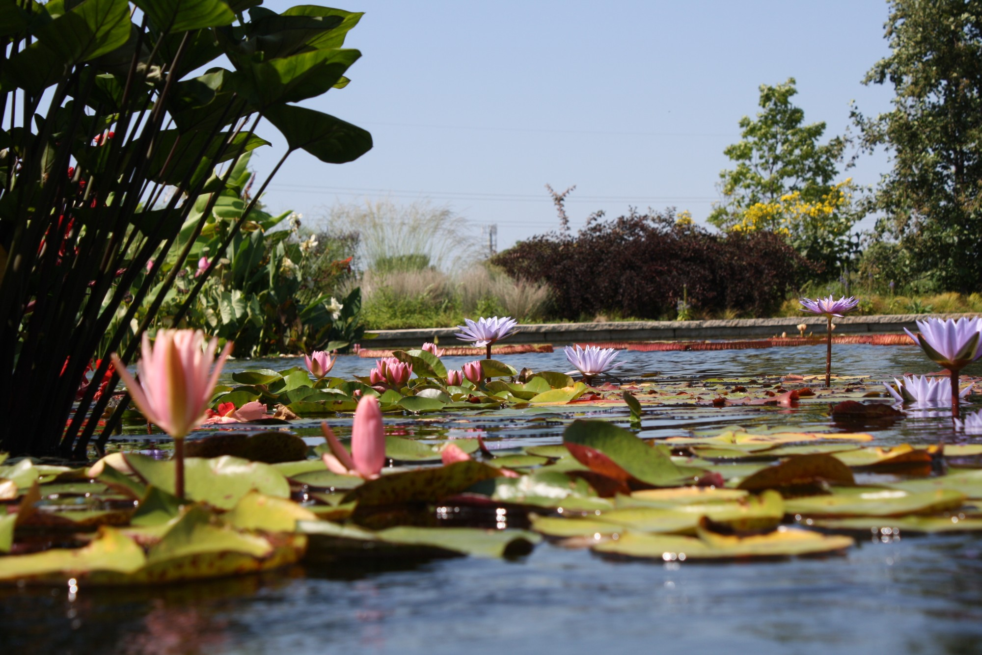 Nymphaea (water lily) flowering in the water garden, August 2016. Photo by Josh Schultes.
