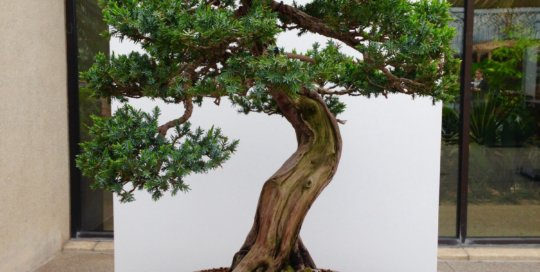 Juniperus squamata 'Blue Alps' (Blue Alps bluestar juniper). Photo by Derek Carwood.