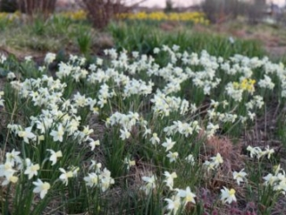 Narcissus 'Sailboat' (Sailboat daffodil) in the Lauridsen Savanna. Photo by Kelly Norris.