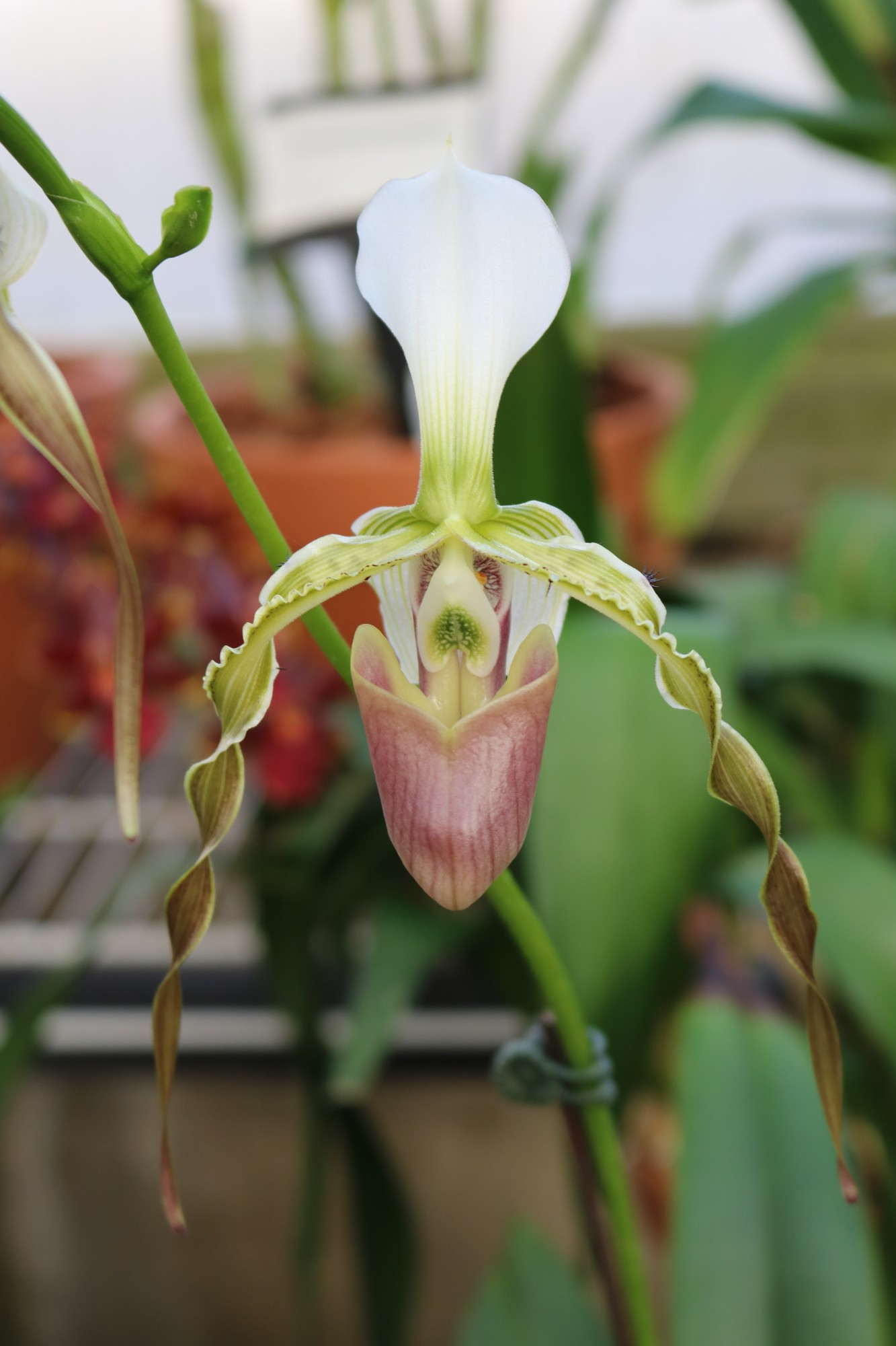 Paphiopedilum dianthum, Gardeners Show House. Photo by Leslie Hunter.