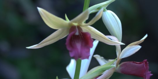 Phaius Princess Kaiulani, Gardeners Show House. Photo by Leslie Hunter.