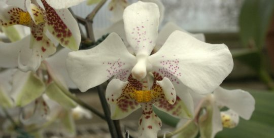 Phalaenopsis stuartiana x sib, Gardeners Show House. Photo by Leslie Hunter.