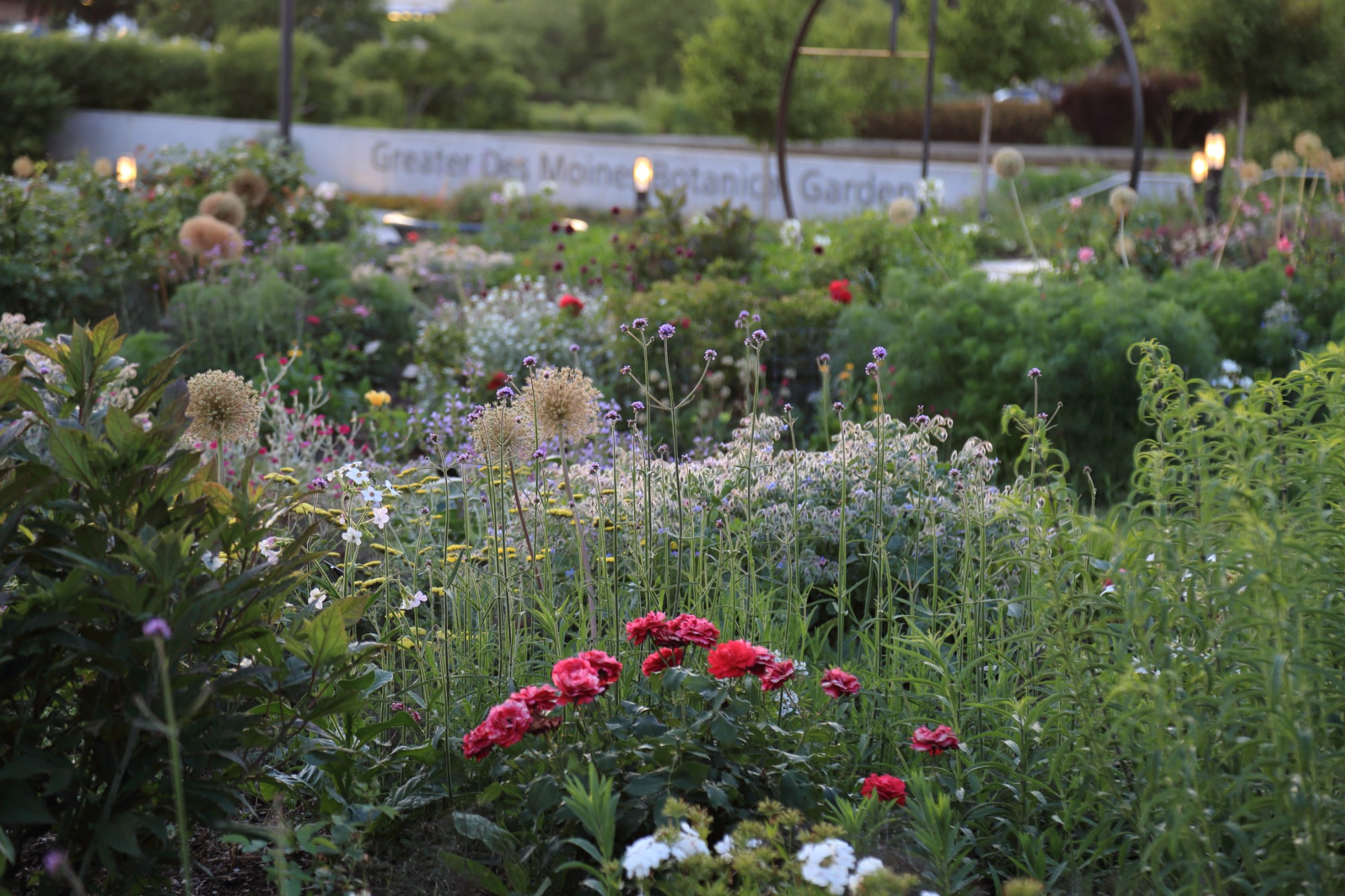 The Wells Fargo Rose Garden glowing in the evening light on June 18. Photo by Kelly Norris.