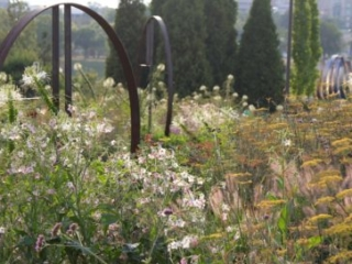 The Wells Fargo Rose Garden in evening light on August 2 showcasing Nicotiana (flowering tobacco) and Foeniculum vulgare (fennel). Photo by Kelly Norris.