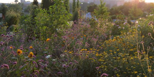 Verbena bonariensis in the evening light in the Wells Fargo Rose Garden, July 5. Photo by Kelly Norris.