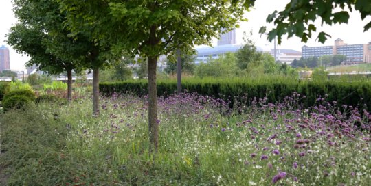 Verbena bonariensis (purpletop verbena) and Gaura 'Star Struck' (Star Struck gaura) maintain a colorful haze along the Ruan Allee.