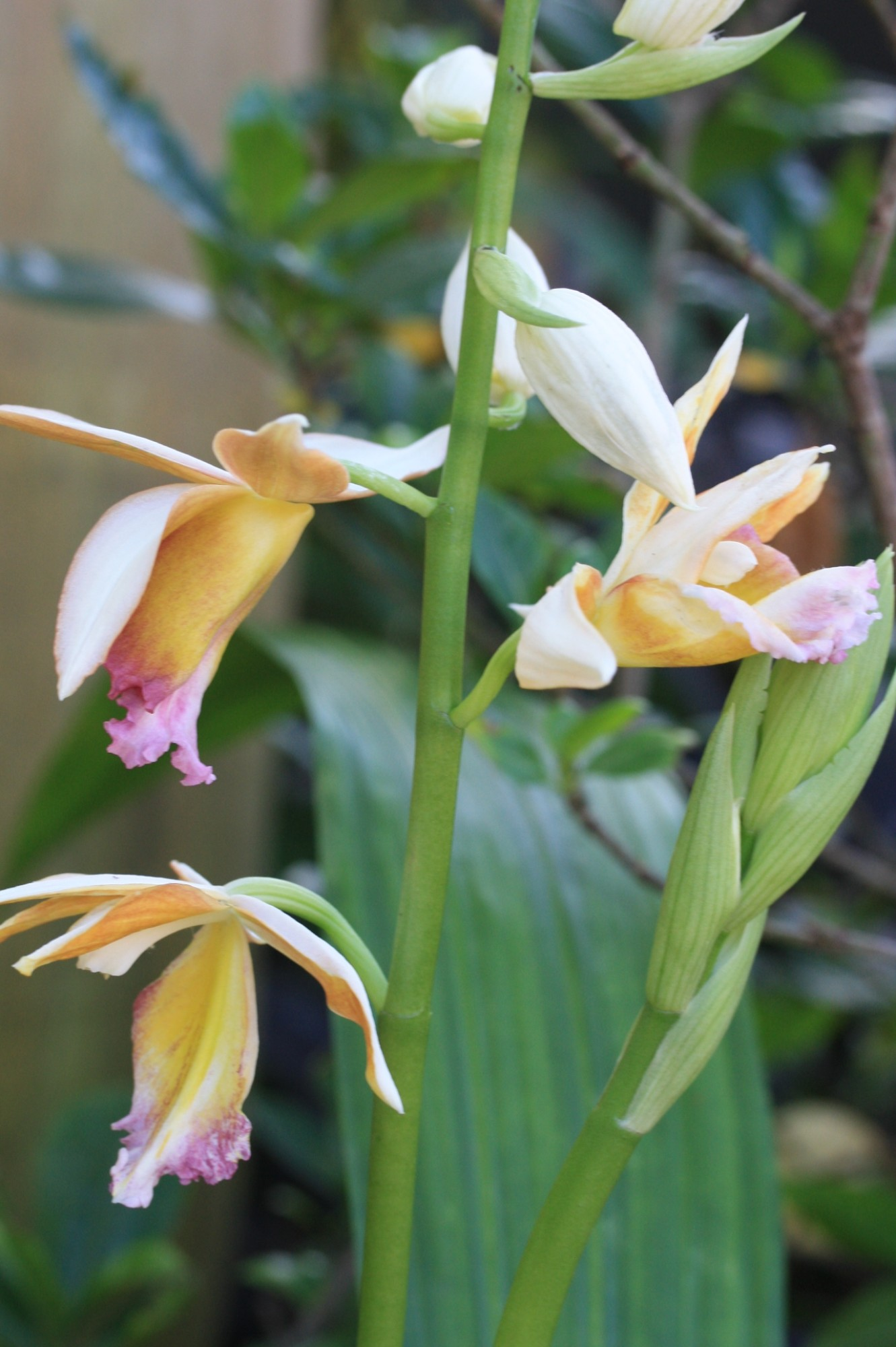 x Gastrophaius Dan Rosenberg 'Tropical Ice', Gardeners Show House. Photo by Leslie Hunter.