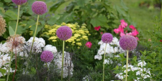 Allium (ornamental onion) feature prominently in the Wells Fargo Rose Garden throughout June. Photo by Kelly Norris.
