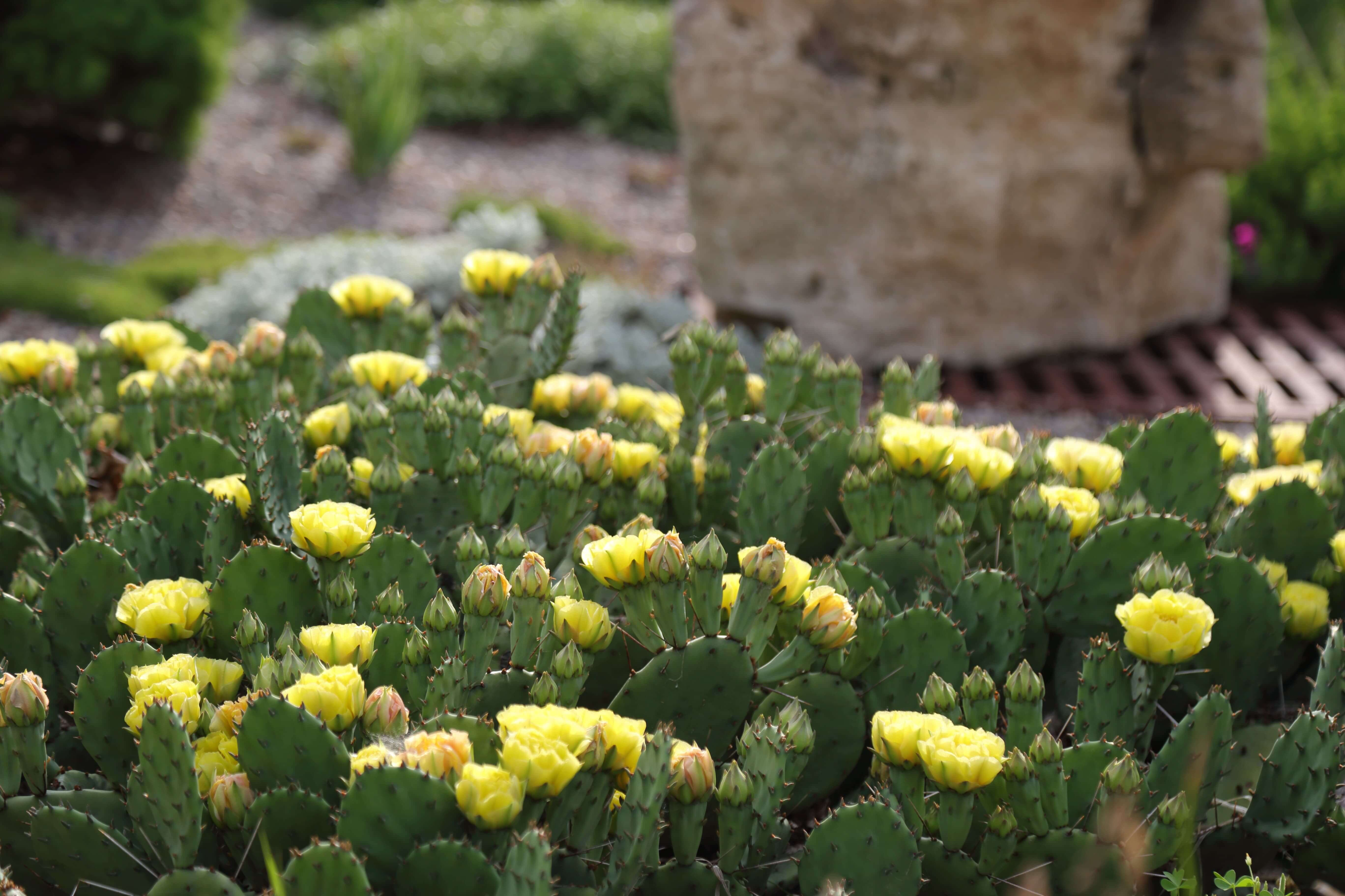 Opuntia humifusa (eastern prickly pear) flowering in the Rutledge Conifer Garden, June 7. Photo by Kelly Norris.