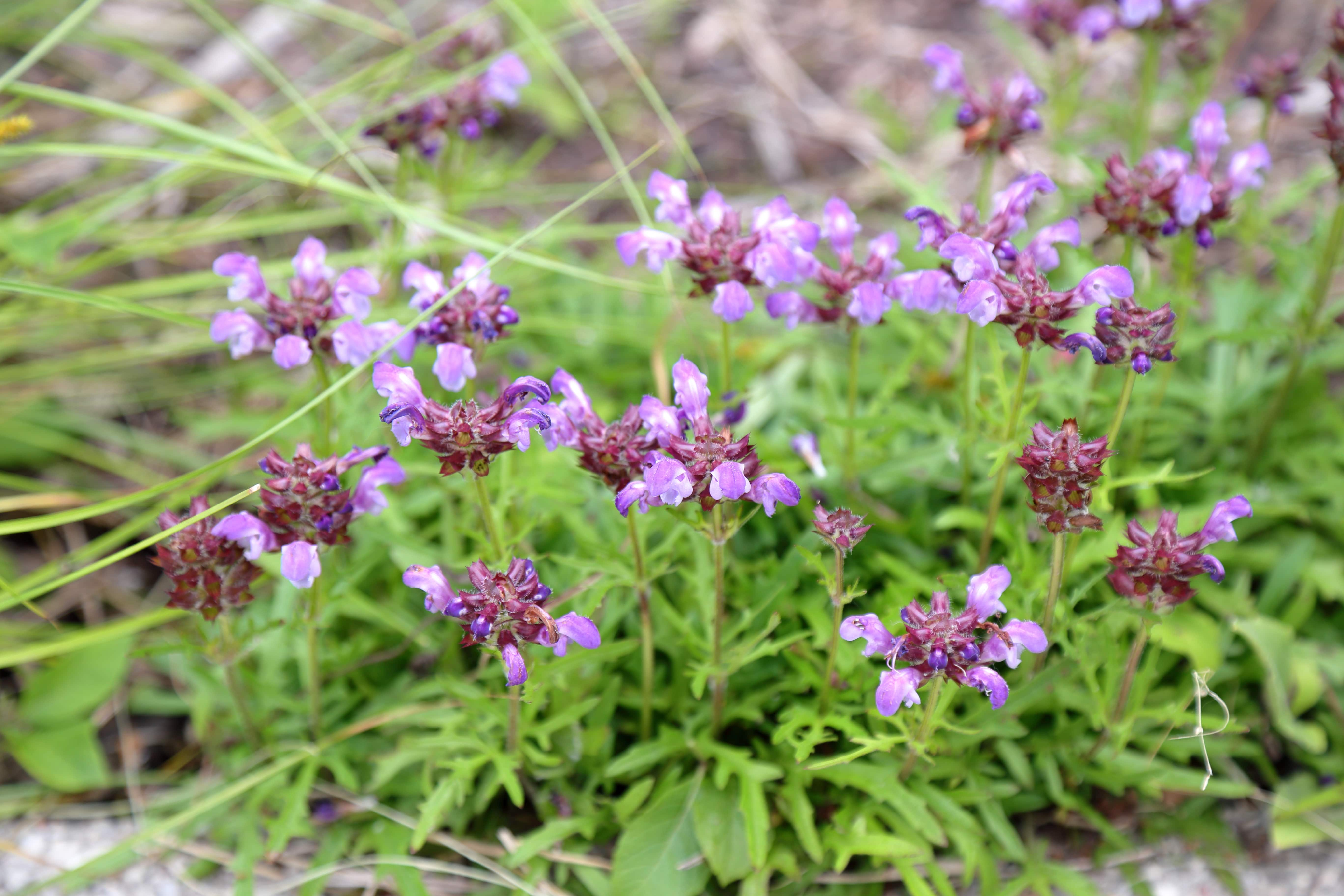 Prunella vulgaris 'Under the Sea' (Under the Sea selfheal) in the Lauridsen Savanna, June 7. Photo by Kelly Norris.