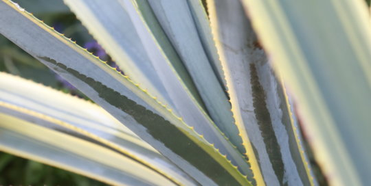 Agave tequilana 'Sunrise' (Sunrise tequila agave) in the Principal Belvedere, Aug. 28. Photo by Kelly Norris.