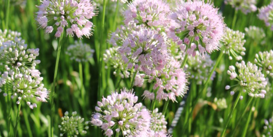 Allium 'Summer Beauty' Ornamental Onion, Koehn Garden, Leslie Hunter, July 26.