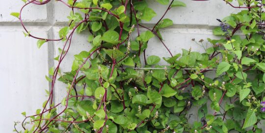 Basella rubra (Red Malabar Spinach) climbs up the espalier wall. Photo by Leslie Hunter, Aug. 23.