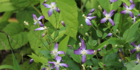 Clematis 'Stand By Me' rambles over perennial neighbors in the Koehn Garden. Photo by Leslie Hunter, Aug. 23.