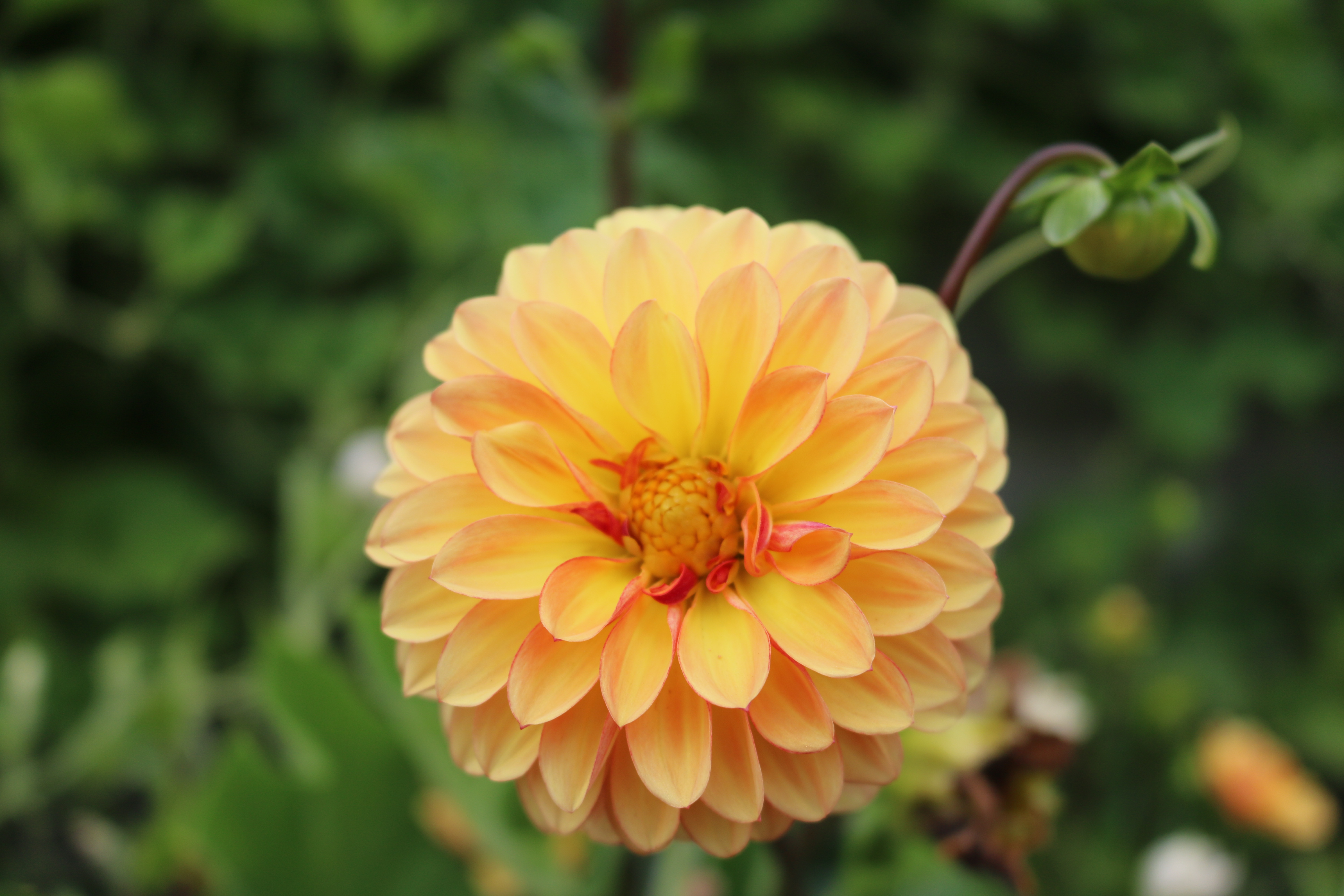 Dahlia 'Cancun' is brightening up the espalier wall this fall. Photo by Leslie Hunter, Aug. 23.