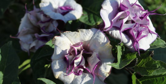 Datura 'Ballerina Purple' on the Koehn Garden espalier wall. Photo by Leslie Hunter, July 26.