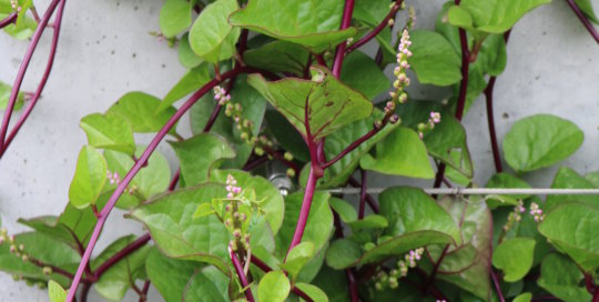 Edible and pretty, Malabar Spinach climbs up the espalier wall in the Koehn Garden. Photo by Leslie Hunter on Aug. 23.