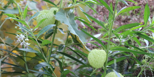 Gomphocarpus physocarpus (balloon plant) in the Koehn Garden on August 28. Photo by Kelly Norris.