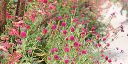 Gomphrena 'Forest Pink' (Forest Pink globe amaranth) flowering in the Koehn Garden espalier border, Aug. 21.