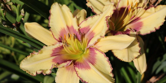 Hemerocallis 'Sweet Jane' Daylily in the Koehn Garden. Photo by Leslie Hunter.