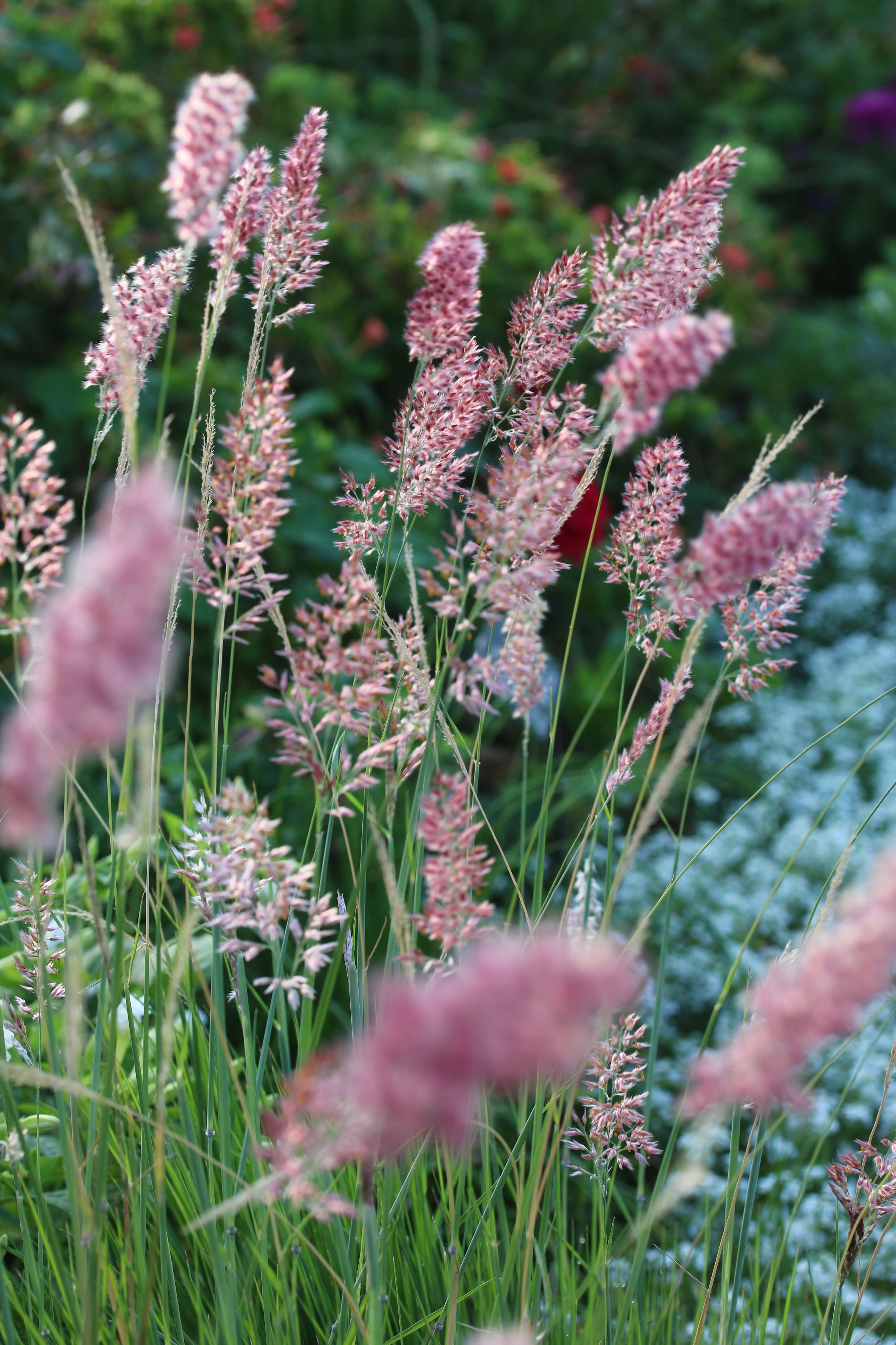 Melinis Savannah, also called Ruby Grass, blooms along the paths in the Rose Garden. Photo by Leslie Hunter.