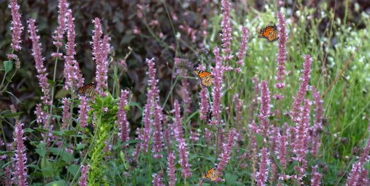 Monarch butterflies have flocked to Agastache 'Velvet Crush' (Velvet Crush hyssop) this fall as they migrate south. Photo taken September 16 by Kelly Norris.