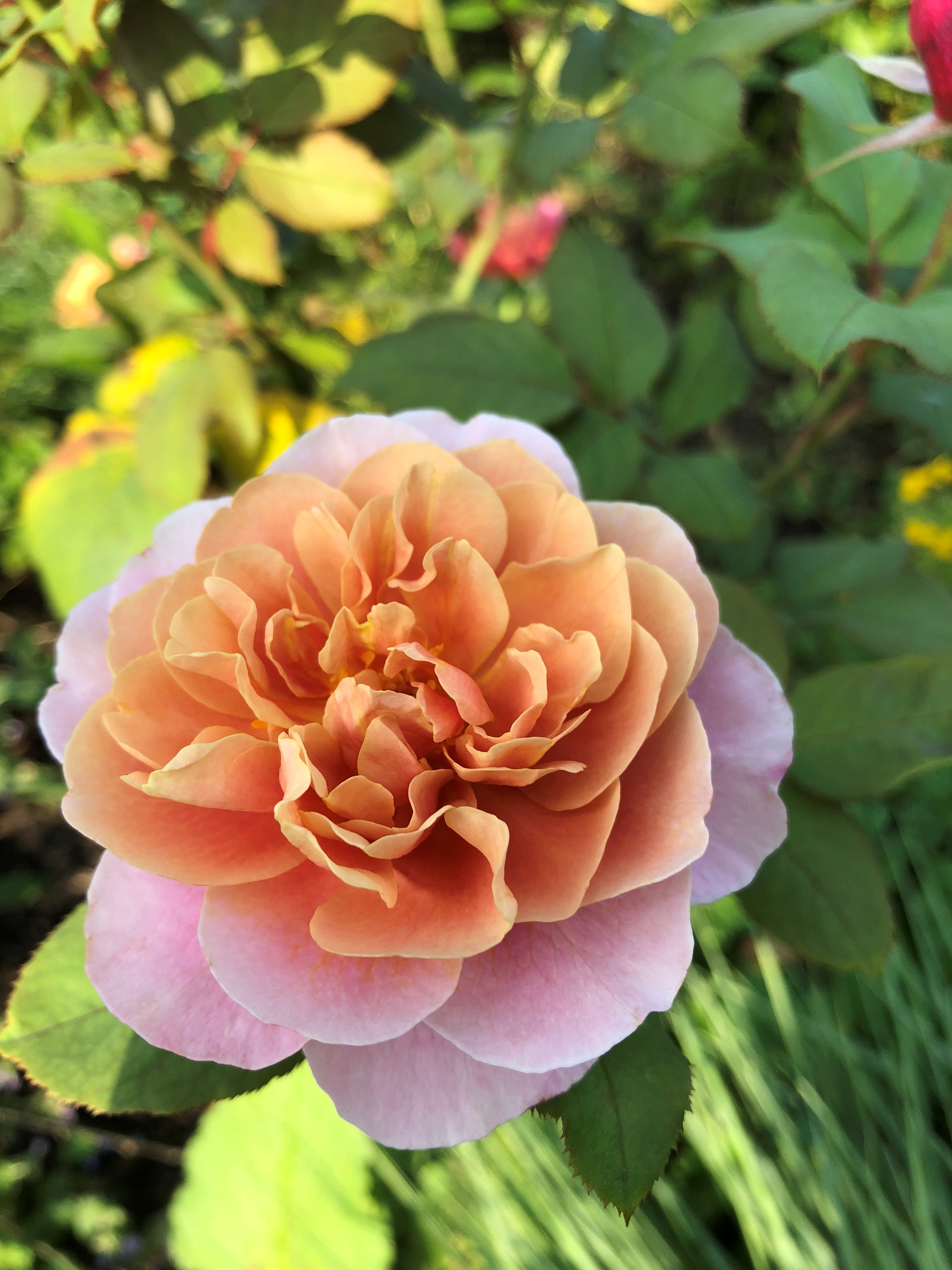 Rose 'Distant Drums' glows peach and mauve in the rose garden. Photo by Leslie Hunter on Aug. 25.