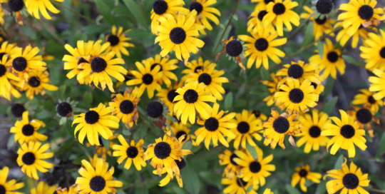 Rudbeckia 'American Gold Rush' (American Gold Rush black-eyed Susan) in the parking lot garden on Aug. 28. Photo by Kelly Norris.
