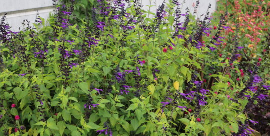 Salvia 'Amistad' (Friendship Sage) blooms among other annuals along the espalier wall. Photo by Leslie Hunter, Aug. 23.