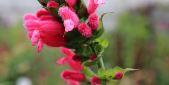 Salvia oxyphora (Fuzzy Bolivian Sage), an annual salvia, blooms in the Koehn Garden. Photo by Leslie Hunter, Aug. 23.