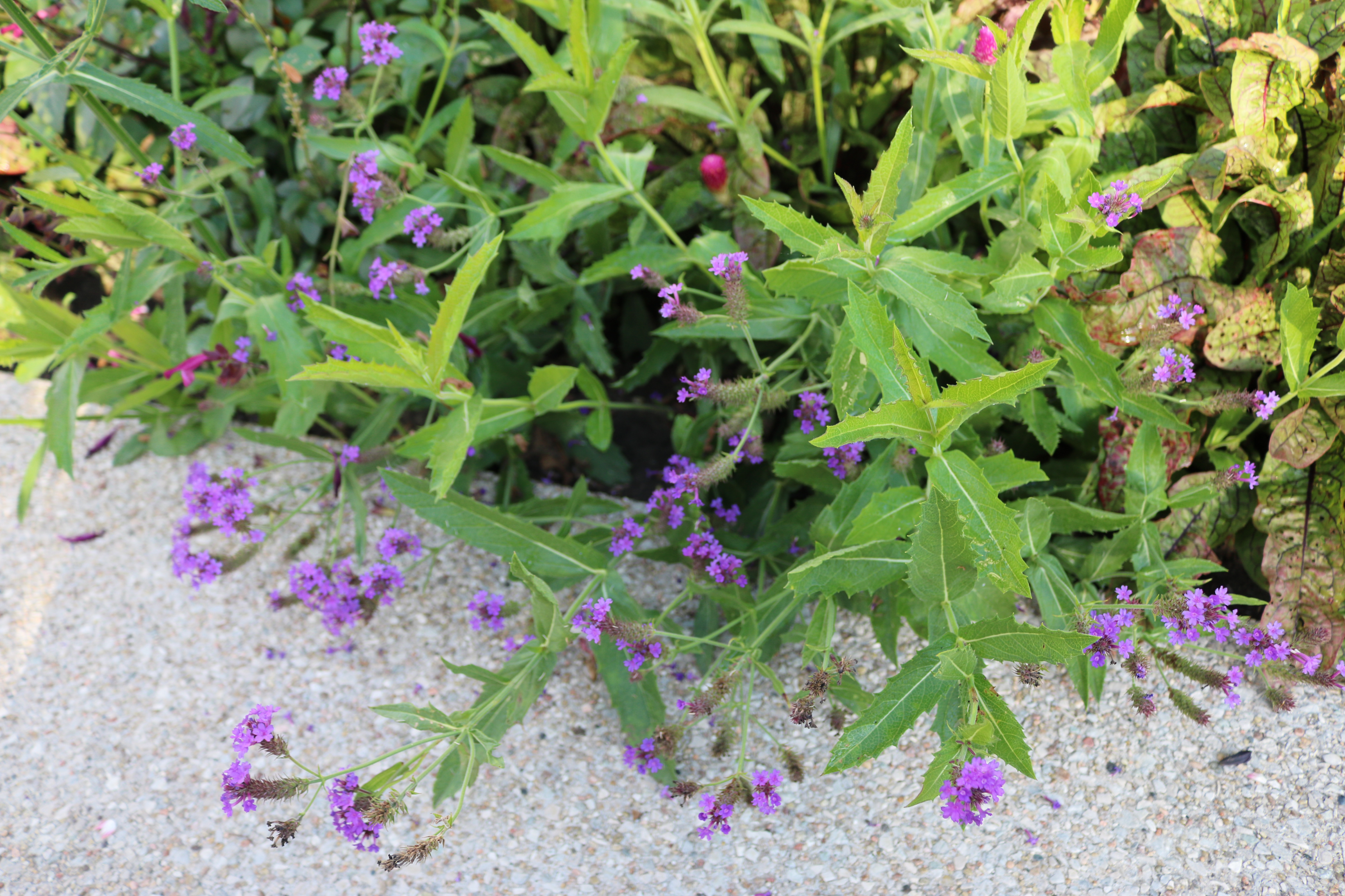 Verbena rigida 'Santos' Rough Verbena on the espalier wall. Photo by Leslie Hunter.