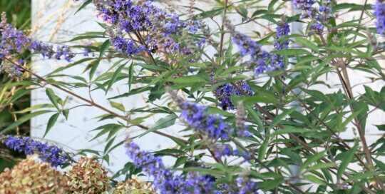 Vitex agnus-castus 'PIIVAC' (Delta Blues chastetree) flowering in the Koehn Garden on September 16. Photo by Kelly Norris.