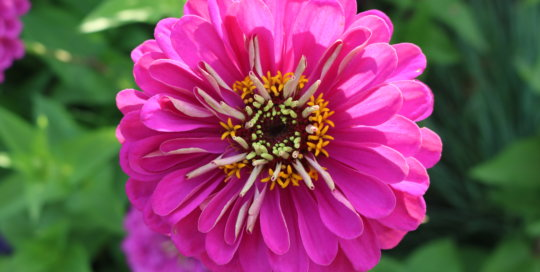 Zinnia 'Purple Prince' in the Wells Fargo Rose Garden. Photo by Leslie Hunter.