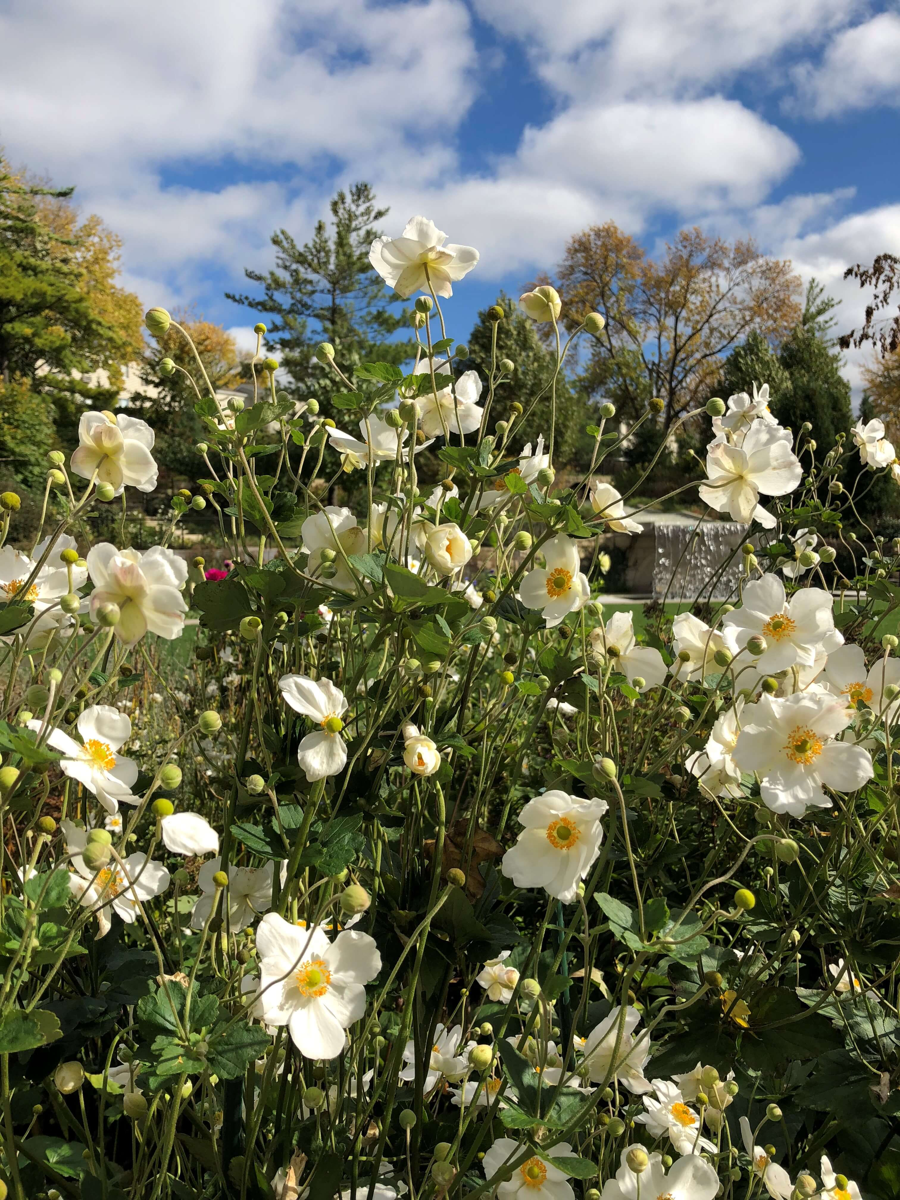 Anemone 'Honorine Jobert' is striking against a blue October sky in the Koehn Garden. Photo by Leslie Hunter, Oct. 11, 2018