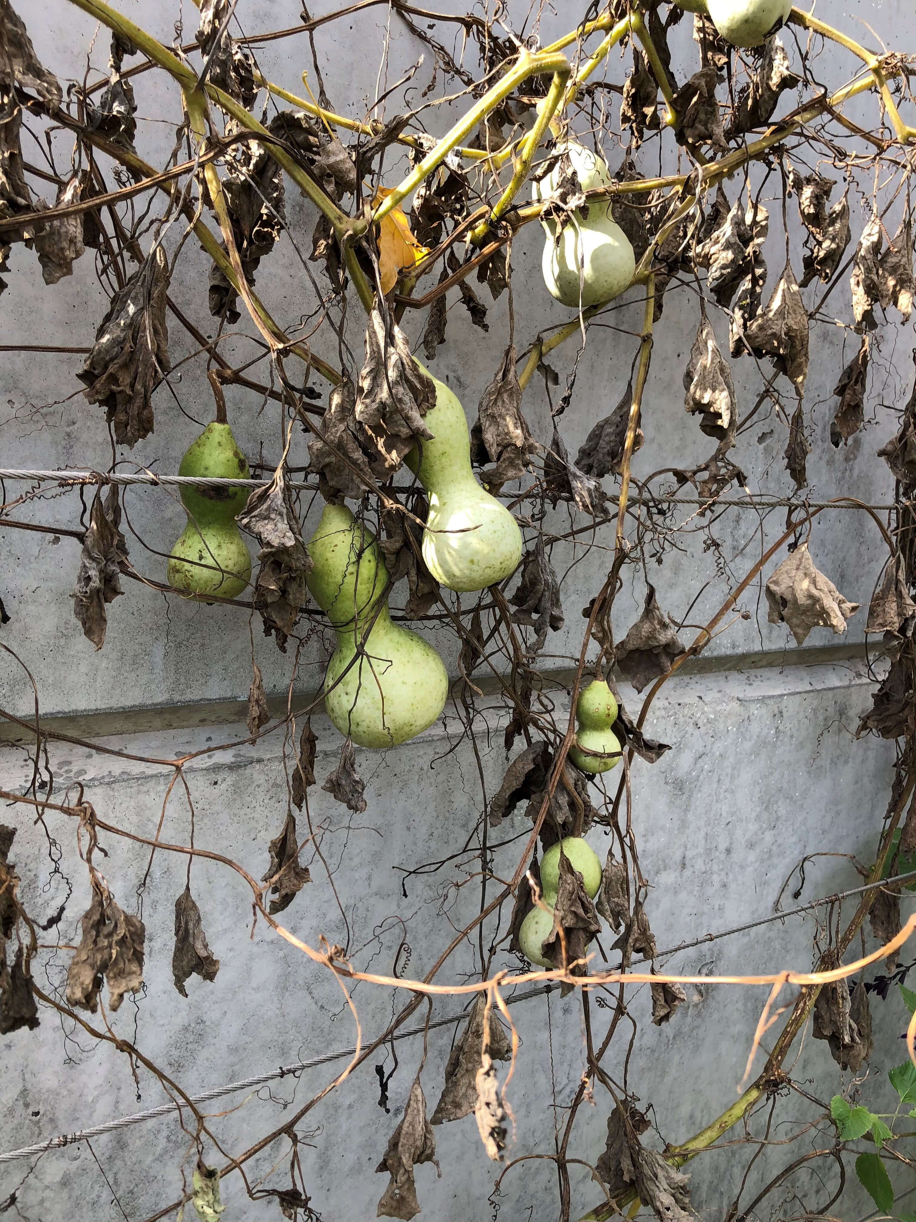 Gourds on the espalier wall. Photo by Leslie Hunter, Oct. 11, 2018.