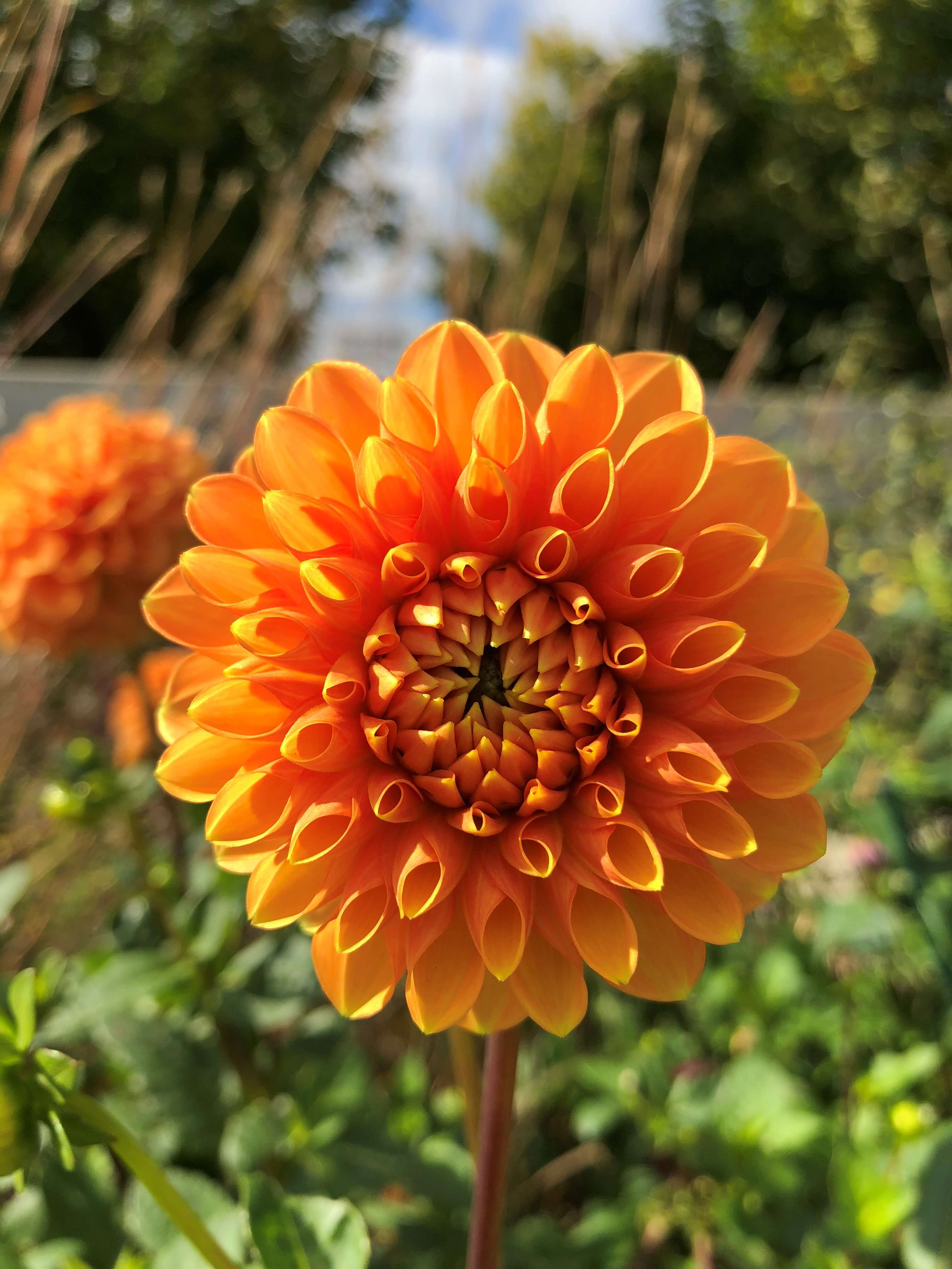 Rich orange of Dahlia 'Maarn' lights up the Koehn Garden perennial border in October. Photo by Leslie Hunter, Oct. 11, 2018.