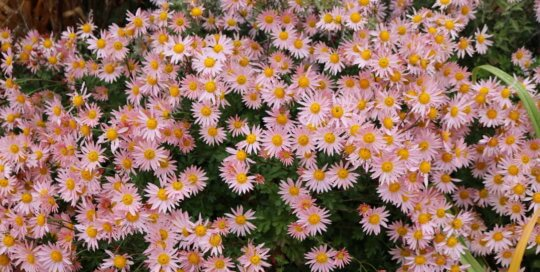 A mass of Chrysanthemum 'Sheffield Pink' blooms late in the season in the Koehn Perennial border. Photo by Leslie Hunter 11.2.18.